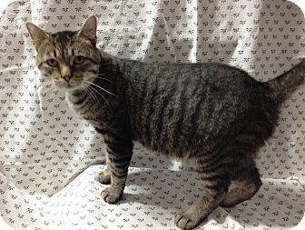 Bengal Cat for adoption in Salem, Ohio - Mac