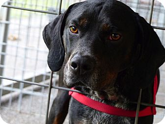 Mountain Cur/Bluetick Coonhound Mix Dog for adoption in Marlinton, West Virginia - Picasso--RESCUED!