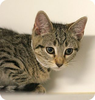 Domestic Shorthair Kitten for adoption in Staunton, Virginia - Abbey Rose