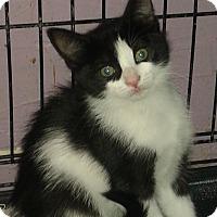 Adopt A Pet :: Chaz - Whittier, CA