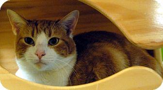 Domestic Shorthair Cat for adoption in Newland, North Carolina - Mochi