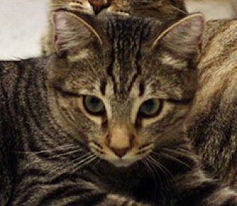 Domestic Shorthair Cat for adoption in San Diego, California - Pretzel