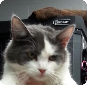 Domestic Longhair Cat for adoption in Paducah, Kentucky - Jayla