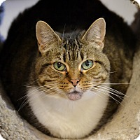 Domestic Shorthair Cat for adoption in Byron Center, Michigan - Meredith