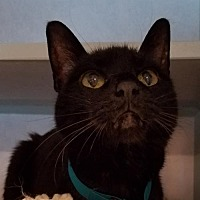 Domestic Shorthair Cat for adoption in Lakewood, Colorado - Kasha