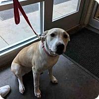 Adopt A Pet :: LEXI - Norman, OK