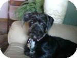 Scottie, Scottish Terrier/Terrier (Unknown Type, Medium) Mix Dog for adoption in RENO, Nevada - TESS