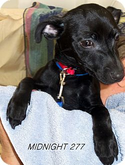 Chihuahua/Miniature Pinscher Mix Dog for adoption in Waldorf, Maryland - Midnight #277