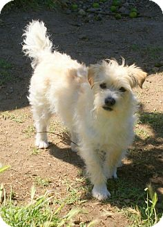 Westie, West Highland White Terrier Mix Dog for adoption in Yuba City, California - 04/26 Ollie