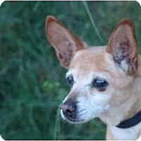 Italian Greyhound/Chihuahua Mix Dog for adoption in West Los Angeles, California - Marlon