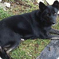 Adopt A Pet :: Velvet - Puyallup, WA