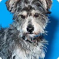 Adopt A Pet :: Bowzer the Schnauzer - Phoenix, AZ