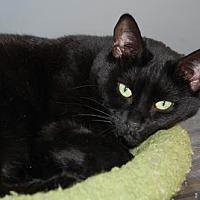 Domestic Shorthair Cat for adoption in Alpharetta, Georgia - Libby