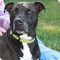 Pit Bull Terrier Mix Dog for adoption in kennebunkport, Maine - Piper - in Maine