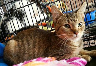 American Shorthair Kitten for adoption in Lyons, Illinois - Tally