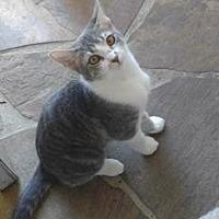 American Shorthair Kitten for adoption in Santa Fe, Texas - Blossom