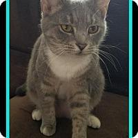 Adopt A Pet :: Lacey - Herndon, VA