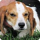 Adopt A Pet :: Bob the Beagle