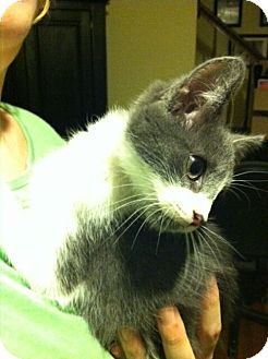 Domestic Shorthair Cat for adoption in Chesterfield, Virginia - Cinder