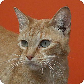 American Shorthair Cat for adoption in Aiken, South Carolina - Retro