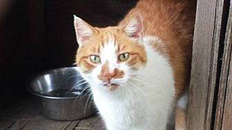 Domestic Shorthair Cat for adoption in Columbia, South Carolina - Willie