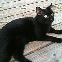 Domestic Shorthair Cat for adoption in Naples, Florida - Latte