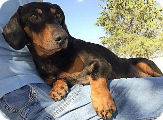 Dachshund Dog for adoption in Lubbock, Texas - VALOR
