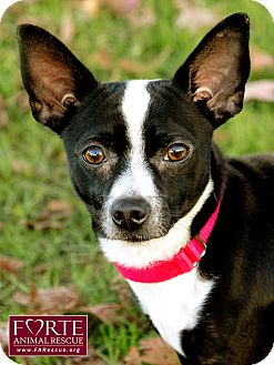 Chihuahua Mix Dog for adoption in Marina del Rey, California - Papas