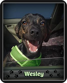 Chihuahua/Hound (Unknown Type) Mix Dog for adoption in Doylestown, Pennsylvania - Wesley