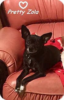 Chihuahua Dog for adoption in Chandler, Arizona - Zola