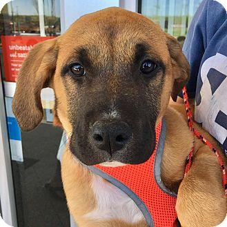 German Shepherd Dog/Labrador Retriever Mix Puppy for adoption in CUMMING, Georgia - Caraline