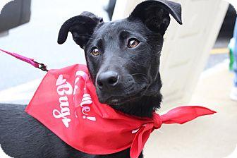 Labrador Retriever/Flat-Coated Retriever Mix Puppy for adoption in Sparta, New Jersey - Natalie