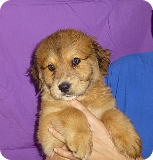 St. Bernard/Labrador Retriever Mix Puppy for adoption in Oviedo, Florida - Ardis