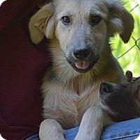 Adopt A Pet :: Cara - New Boston, NH