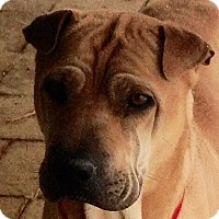 Adopt A Pet :: Harper - Barnegat Light, NJ