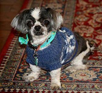 Shih Tzu Dog for adoption in Ventura, California - Curly