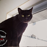 Domestic Shorthair Cat for adoption in Mohawk, New York - Black Jack