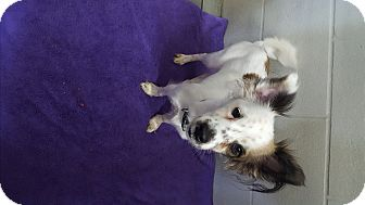 Jack Russell Terrier/Papillon Mix Dog for adoption in Bryan, Ohio - dixie