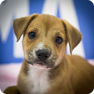Labrador Retriever/Shepherd (Unknown Type) Mix Puppy for adoption in Houston, Texas - Martie