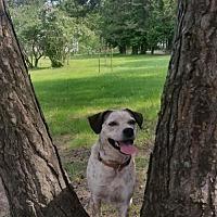 Cattle Dog/American Bulldog Mix Dog for adoption in Toronto, Ontario - Hank