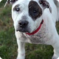 American Pit Bull Terrier Mix Dog for adoption in Niagara Falls, New York - Serena