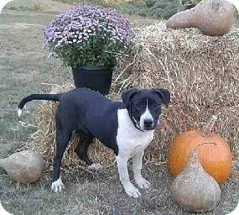 Border Collie/Labrador Retriever Mix Puppy for adoption in Attalla, Alabama - Odessa