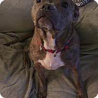 Pit Bull Terrier Mix Dog for adoption in Dayton, Ohio - Priscilla