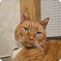Domestic Shorthair Cat for adoption in Delaware, Ohio - Scotty