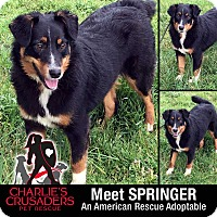 Adopt A Pet :: Springer - Spring City, PA