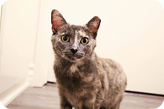 American Shorthair Cat for adoption in Los Angeles, California - Sweet Pea