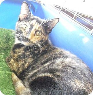 Calico Kitten for adoption in Fairborn, Ohio - Isis-Diamond Litter