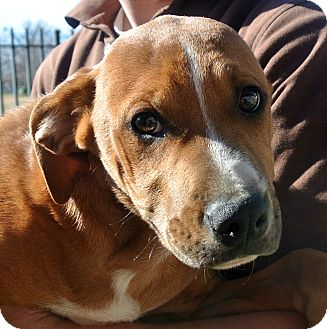 American Pit Bull Terrier/Hound (Unknown Type) Mix Puppy for adoption in white settlment, Texas - River