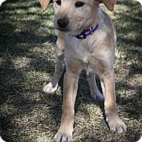 Adopt A Pet :: Tesi - Broomfield, CO