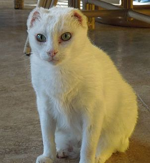 Domestic Shorthair Cat for adoption in Makawao, Hawaii - Snowy